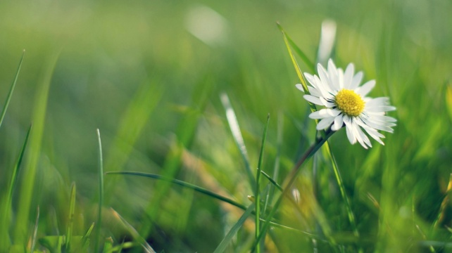 daisy-meadow-1366x768
